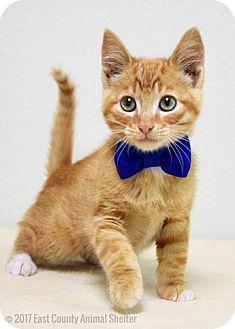 Domestic Shorthair Kitten for adoption in Dublin, California - Mather