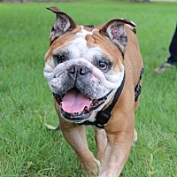 Bulldog Dog for adoption in Bowmanville, Ontario - OLLIE