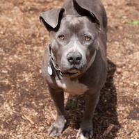 American Pit Bull Terrier Mix Dog for adoption in Eugene, Oregon - Polly