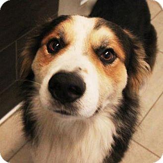 Australian Shepherd Mix Dog for adoption in San Francisco, California - Finn