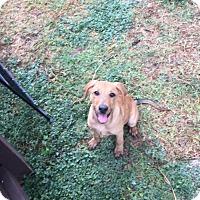 Adopt A Pet :: Rebecca - Olympia, WA