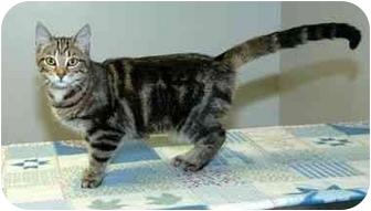 Domestic Shorthair Cat for adoption in Hamilton, Ohio - Harmony