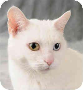 Turkish Van Cat for adoption in Chicago, Illinois - Charmin