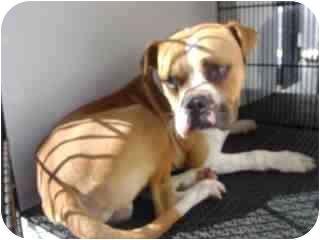 American Bulldog Mix Dog for adoption in Harbor City, California - malcom