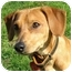 Photo 1 - Miniature Pinscher/Dachshund Mix Puppy for adoption in Ile-Perrot, Quebec - Toyo