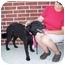 Photo 3 - Golden Retriever/Flat-Coated Retriever Mix Dog for adoption in Marion, Arkansas - Bogart - URGENT