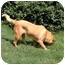 Photo 3 - Retriever (Unknown Type) Mix Dog for adoption in Inman, South Carolina - Mandy