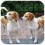 Photo 3 - Beagle Dog for adoption in Palm Bay, Florida - E J