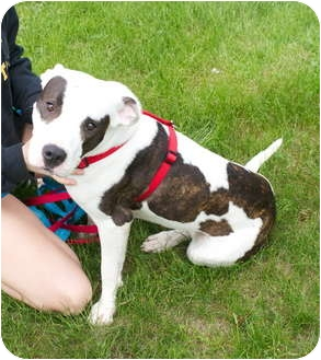 American Pit Bull Terrier Mix Dog for adoption in South Euclid, Ohio - Callie