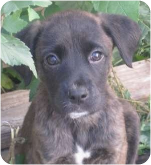 Boxer/Labrador Retriever Mix Puppy for adoption in Chicago, Illinois - Chester(ADOPTED!)