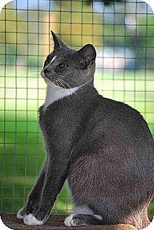 Domestic Shorthair Cat for adoption in Thibodaux, Louisiana - Arnie FE1-8284