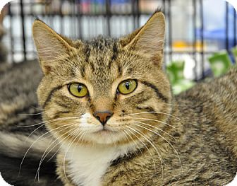 Domestic Shorthair Cat for adoption in Great Falls, Montana - Rabbit