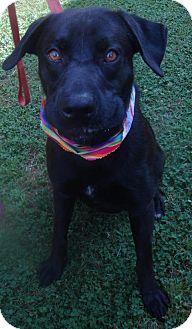 Labrador Retriever Mix Dog for adoption in Lebanon, Maine - George