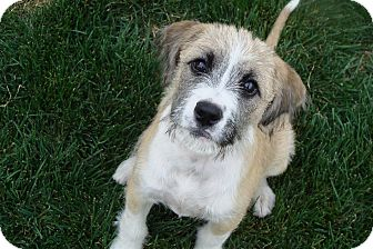 Boxer/Terrier (Unknown Type, Medium) Mix Puppy for adoption in Tustin, California - Diamond