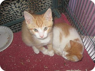 Domestic Shorthair Cat for adoption in Alamo, California - Ginger
