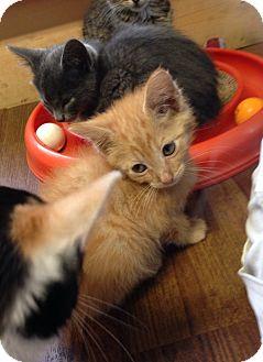 Domestic Shorthair Kitten for adoption in Greensburg, Pennsylvania - Brawlik