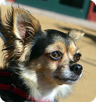 Chihuahua Dog for adoption in Bridgeton, Missouri - Foxy-Adoption pending