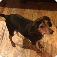 Adopt A Pet :: Marvelous Mufasa - Madison, NJ
