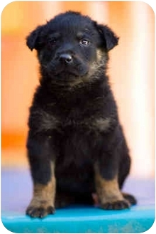German Shepherd Dog Mix Puppy for adoption in Portland, Oregon - Indiana