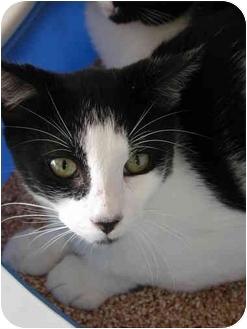 Domestic Shorthair Kitten for adoption in Fort Lauderdale, Florida - Gannon