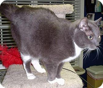 Domestic Shorthair Cat for adoption in Fayetteville, Georgia - Benson