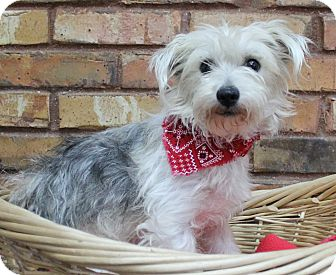 Terrier (Unknown Type, Small) Mix Dog for adoption in Benbrook, Texas - Ranger