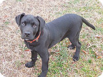 Labrador Retriever/Pit Bull Terrier Mix Puppy for adoption in Cranford, New Jersey - Hank