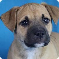Adopt A Pet :: Hazel - Minneapolis, MN