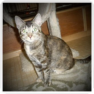 Domestic Shorthair Cat for adoption in Medford, Wisconsin - DARMA