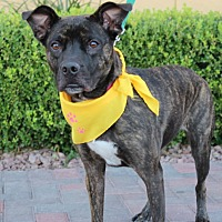 Mountain Cur/Boxer Mix Dog for adoption in Las Vegas, Nevada - JOPLIN