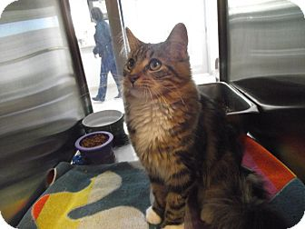 Domestic Mediumhair Cat for adoption in Chambersburg, Pennsylvania - Robin