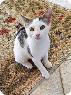 Domestic Shorthair Kitten for adoption in Waldorf, Maryland - Dreamboat Annie