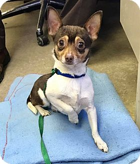 Chihuahua Dog for adoption in Cadiz, Ohio - PIP