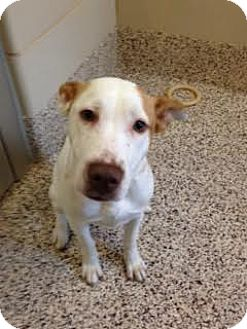 Pit Bull Terrier Mix Dog for adoption in Aiken, South Carolina - Azure