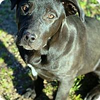 Adopt A Pet :: Shasta - Rancho Cucamonga, CA