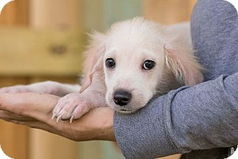 Spaniel (Unknown Type) Mix Puppy for adoption in Fort Atkinson, Wisconsin - Mason