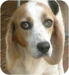 Beagle Dog for adoption in Palm Bay, Florida - Maggie