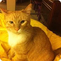 Adopt A Pet :: Sweetums - St. Louis, MO