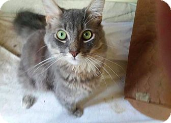 Domestic Mediumhair Cat for adoption in Brunswick, Ohio - Clyde