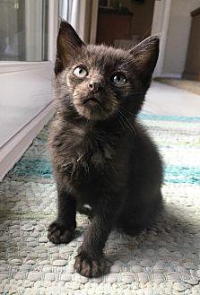 Domestic Shorthair Kitten for adoption in Orange, California - Mowgli
