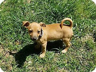 Miniature Pinscher/Dachshund Mix Puppy for adoption in Nesbit, Mississippi - Bo Jack (avail around 5/27/17)