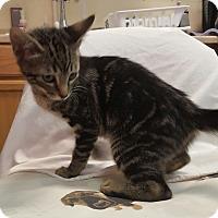 Adopt A Pet :: Vegas - Hawk Point, MO