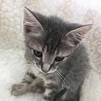Domestic Shorthair Kitten for adoption in Woodstock, Georgia - Bart
