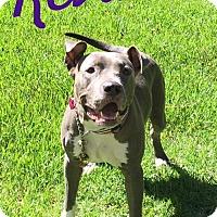 Pit Bull Terrier/American Pit Bull Terrier Mix Dog for adoption in Baton Rouge, Louisiana - Reva