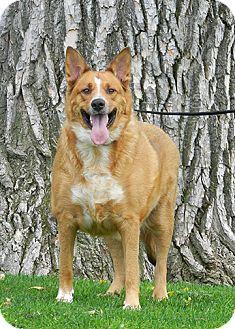 Cattle Dog Mix Dog for adoption in Denver, Colorado - Evie