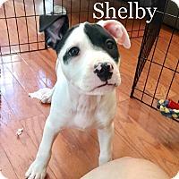 Adopt A Pet :: Shelby - Savannah, GA