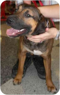 Labrador Retriever/Bullmastiff Mix Dog for adoption in Humble, Texas - Copper