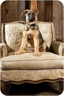 German Shepherd Dog Mix Puppy for adoption in Portland, Oregon - Princess Helga