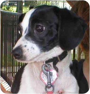 Jack Russell Terrier/Chihuahua Mix Puppy for adoption in Poway, California - TERRI