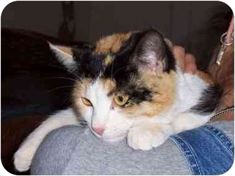 Calico Cat for adoption in Las Cruces, New Mexico - Cali